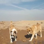 【犬猫動物動画まとめ】DEV iRAN COBAN KOPEKLERi - GiANT PERSiAN SHEPHERD DOG