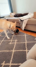 【犬猫動物動画まとめ】Dog Shows No Mercy to Puppy Playing Tug of War