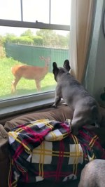 【犬猫動物動画まとめ】French Bulldog Doesn't Approve of Doe Being in Yard
