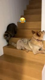 【犬猫動物動画まとめ】Cat Sneaks Behind Dog While Descending Stairs