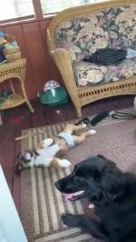 【犬猫動物動画まとめ】Puppy Attempts To Jump Over Dog And Falls On The Floor