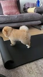 【犬猫動物動画まとめ】dog stretches his legs on owner's yoga mat - dog stretches his legs on owner's yoga mat -