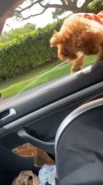 【犬猫動物動画まとめ】Dog Falls Out Of Driving Car While Leaning On Window As Their Owner Rushes To Save Them