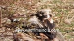 【犬猫動物動画まとめ】The circle of life! Griffon Vultures pick meat off carrion of leopard kill in high Himalaya