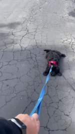 【犬猫動物動画まとめ】Owner Drags Dog by his Leash as he Refuses to Walk on the Road