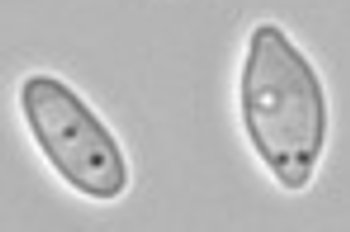Apiculate yeast morphology