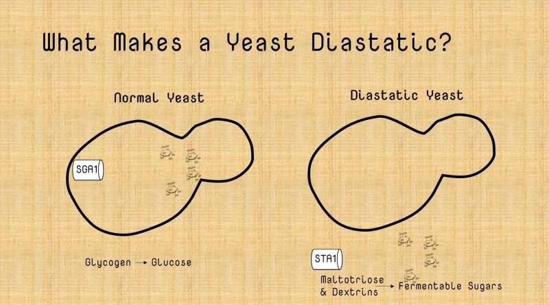diastaticus