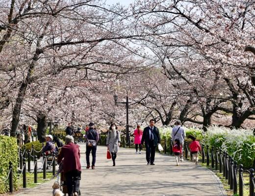Cherry blossoms in Ueno Park, Tokyo