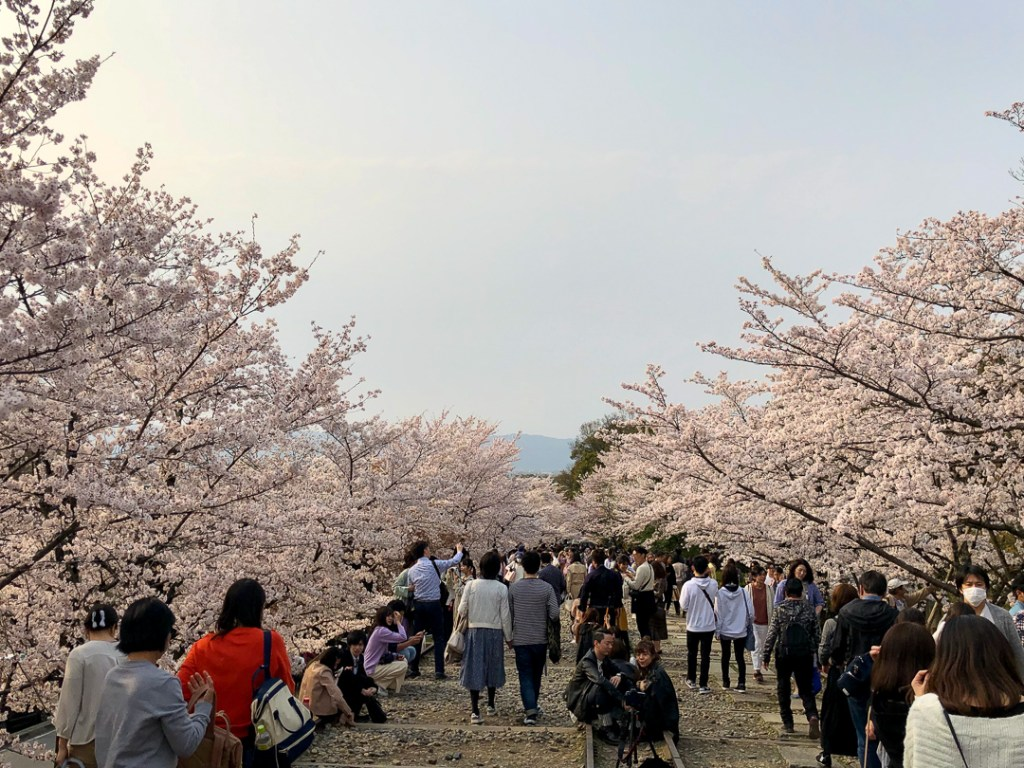 Cherry Blossoms at the Keage Incline in Kyoto