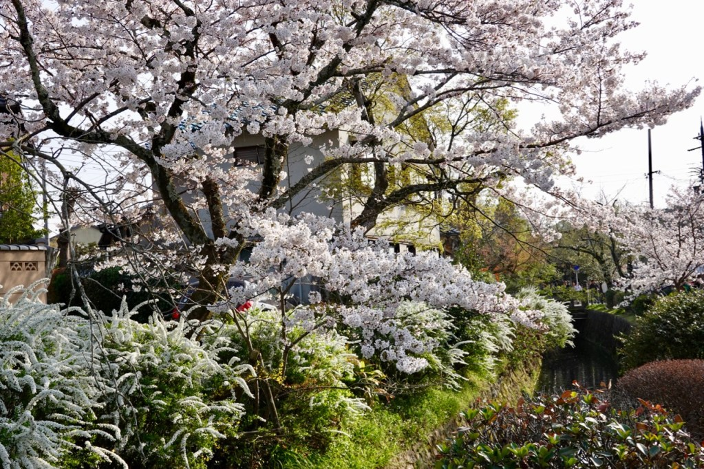Cherry blossoms along the Path of Philosophy in Kyoto