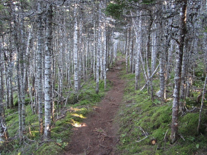 Tall light trees line a dirt path on the East Coast Trail in Newfoundland, Canada.