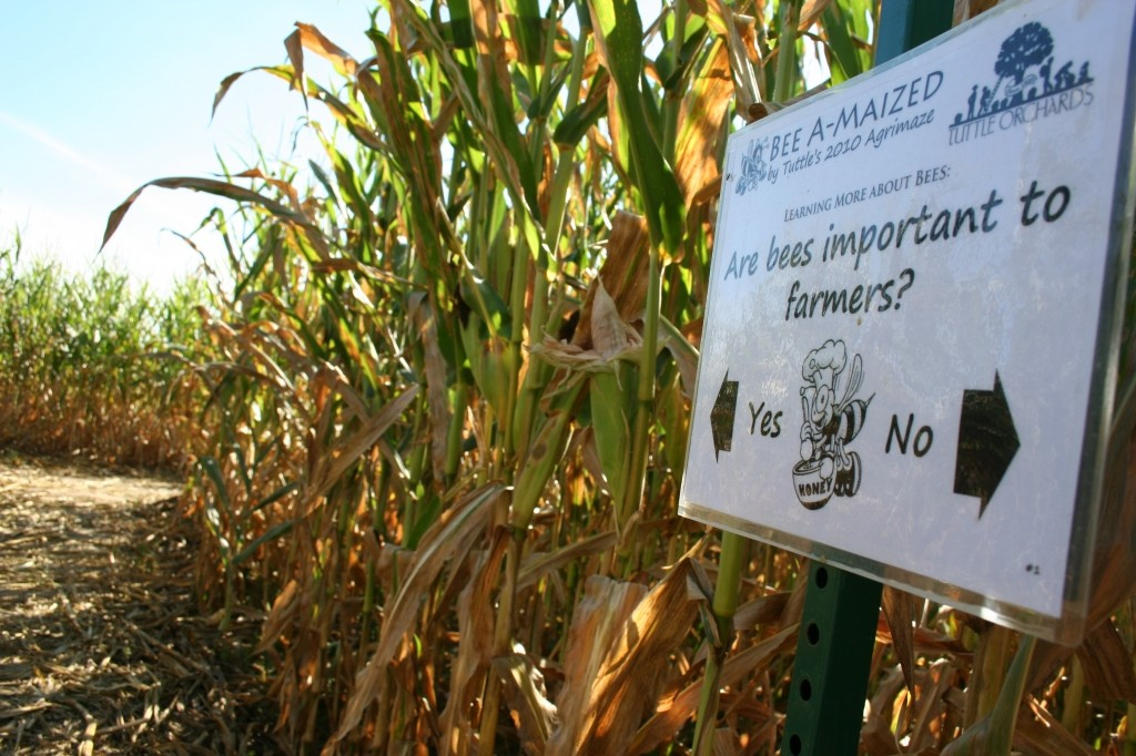 The corn maze at Tuttles Orchard. Photo courtesy of the Tuttles Orchard website.