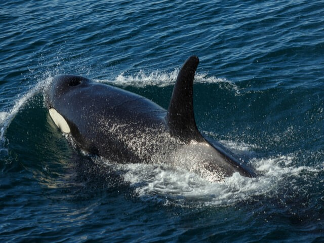 Suitcase Six 2_Kayak_with_whales_-_By_sunsinger 5 Reasons Why Seattle Should be on Your Bucket List