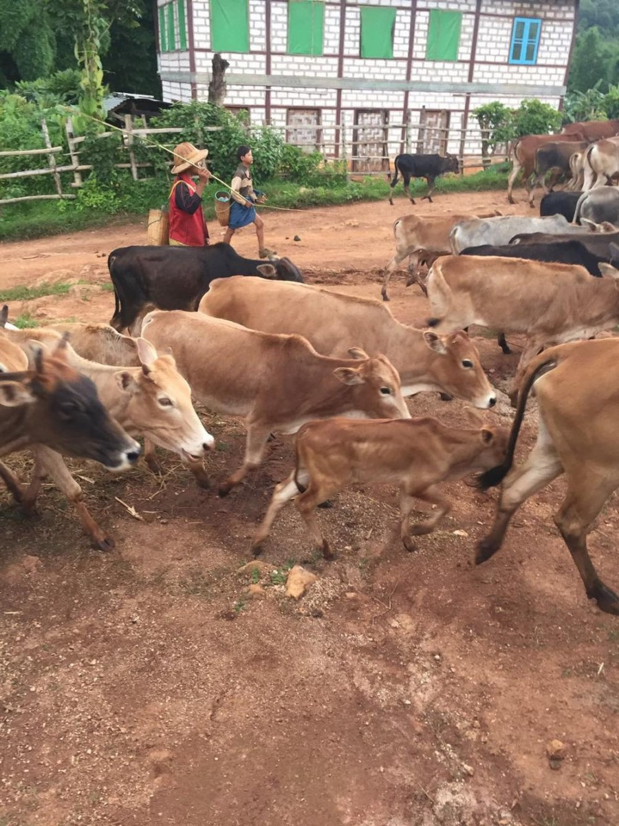Woman of the Week: Stef photo of a herd of brown cows running