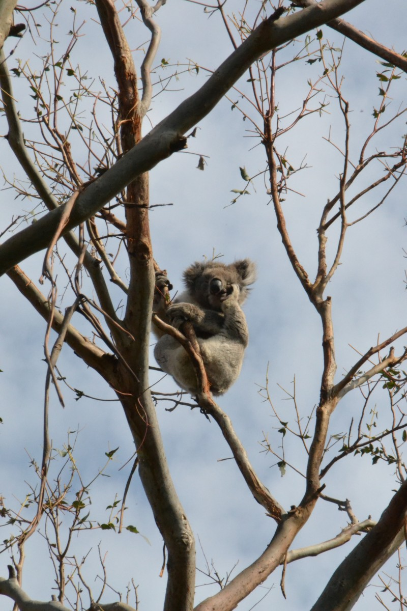 A photograph of a koala perched in a brown tree top from our interview with a psychologist.