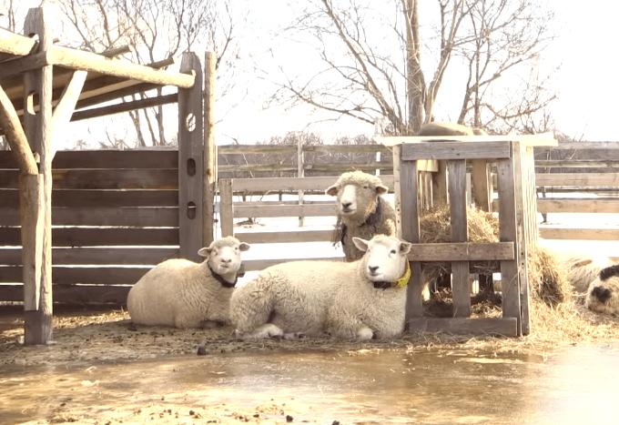 Happy, si Domba Tersenyum Dari Jepang 2