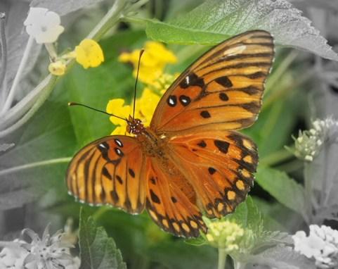 The Gulf Dritillary Butterfly