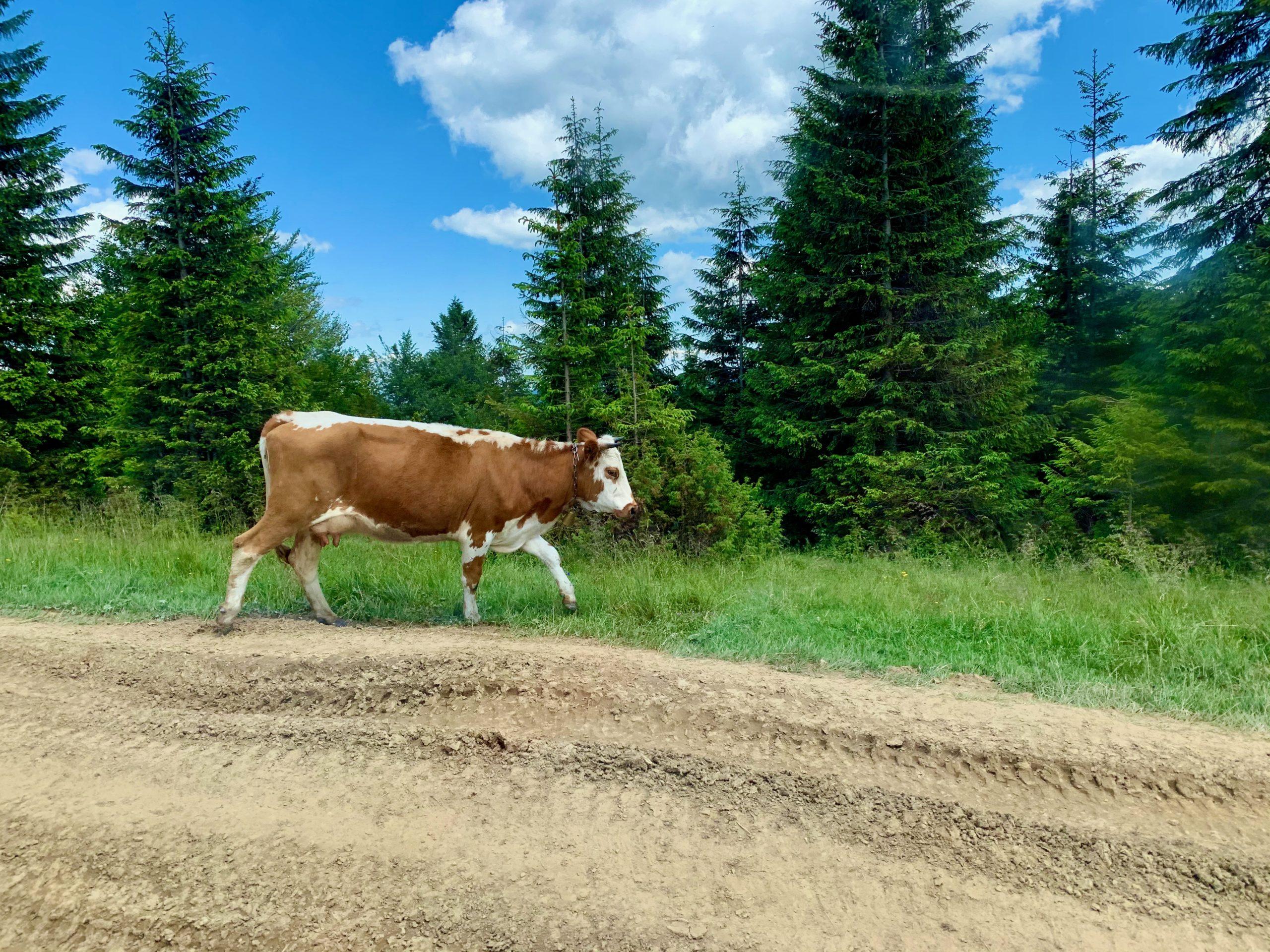 Коровки пасутся в горах