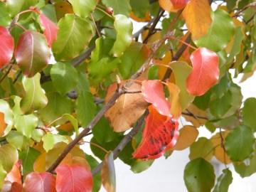 Autumn colour in winter