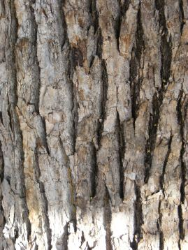 fissured bark