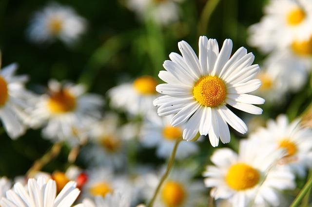 daisies-276112_640