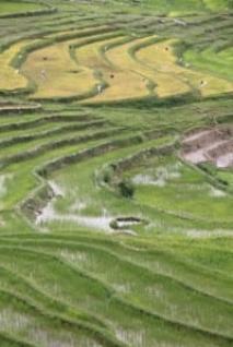 Rice Fields of Mamasa
