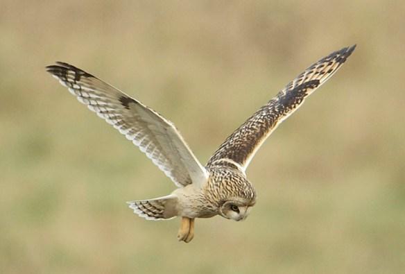 Short-Eared-Owl-02a