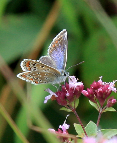 Common Blue Butterfly (female) Photo: Chris Behan