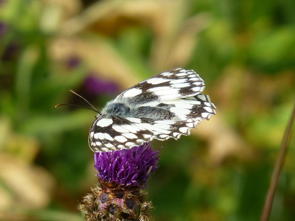 marbled-white-1
