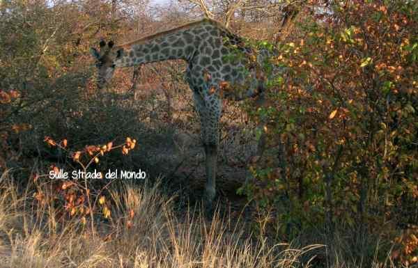 Giraffa che mangia