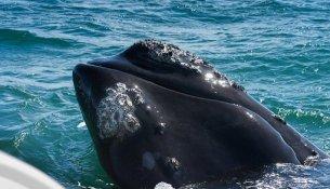 Hermanus balena