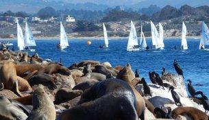 Leoni marini Monterey
