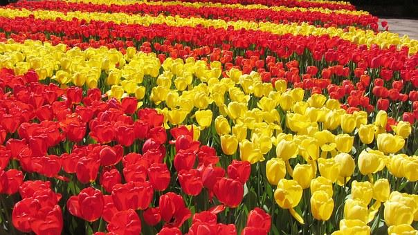 Vedere campi di tulipani