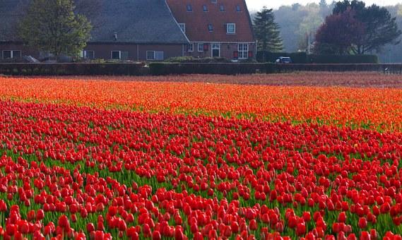 Dove vedere i tulipani in Olanda