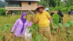 Giat Bertani, Kini Kadis Pertanian Butur Panen Padi Organik