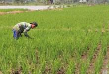 Photo of Ratusan Hektar Sawah di Konawe Kekeringan, Petani Terancam Gagal Panen