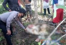 Photo of Aksi Maling Mutilasi 2 Ekor Sapi Gegerkan Warga di Konsel