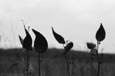 Milkweed pods, Minolta X-700, Kodak Tri-X 400
