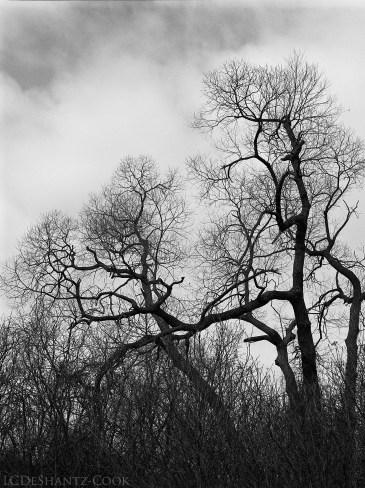 gnarly trees and clouds, Mamiya 645 1000s, Kodak T-Max 400