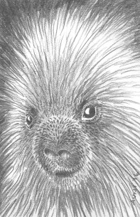 "Porcupine: (sold) 2016 5"" x 7"" graphite"