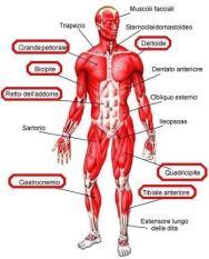 xmuscolischerma1