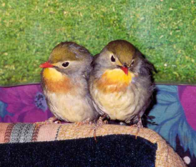 Tibetan_free_birds
