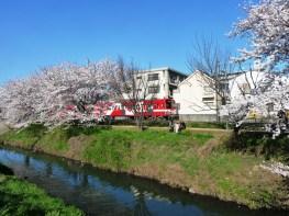 真っ赤な新車両あかぎ号と桜