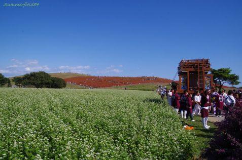 ソバ畑越しのコキアの紅葉