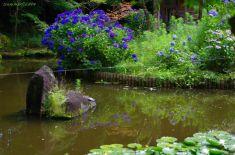 弁天池の逆さ紫陽花・・・