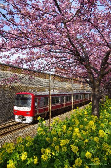 河津桜と菜の花の競演