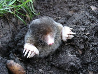 democratic mole