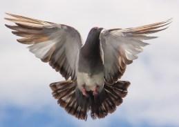 Pigeon Mission