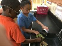 Transplanting tomatoes to individual pots