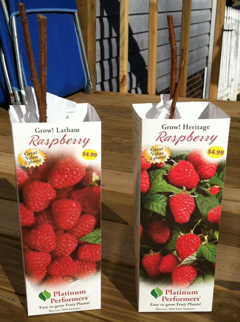 Heritage Everbearing Raspberries Latham Raspberries